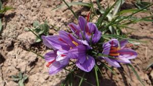 写真5:サフランの花_Saffron crocus